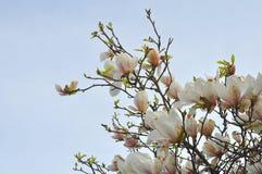 Wiosny magnolii niebieskie niebo i kwiaty Zdjęcia Stock