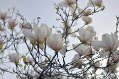 Wiosny magnolii niebieskie niebo i kwiaty Zdjęcie Royalty Free