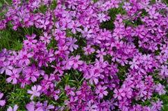 Wiosny menchia kwitnie tło Zdjęcie Royalty Free