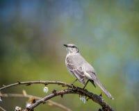 Wiosny Mockingbird zdjęcia stock