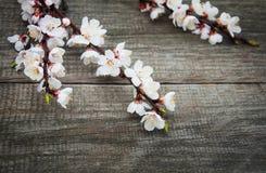 Wiosny morelowy okwitnięcie Zdjęcie Stock