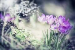 Wiosny natury tło z ładnymi krokusami kwitnie w ogródzie lub parku Obrazy Stock