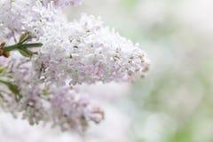 Wiosny ogrodowa scena z kwitnąć białego lilego krzaka Kwiatów płatków makro- widok miękkie ogniska, głębokość pola płytki Fotografia Royalty Free