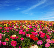 Wiosny ogrodowy wielki ranunculus Obrazy Stock