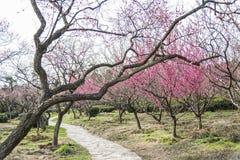Wiosny okwitnięcia śliwkowych gałąź czerwony kwiat Obraz Stock