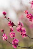Wiosny okwitnięcia śliwkowych gałąź czerwony kwiat Obrazy Royalty Free