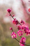 Wiosny okwitnięcia śliwkowych gałąź czerwony kwiat Obraz Royalty Free