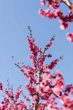 Wiosny okwitnięcia śliwkowych gałąź czerwony kwiat Fotografia Royalty Free