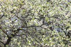 Wiosny okwitnięcia tło, piękna biała wiosna kwitnie Świeżość, woń i czułość, obraz stock