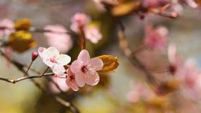 Wiosny okwitnięcia tło Piękna natury scena z kwitnącym drzewem i słońcem słoneczny dzień wiosna kwiat Abstrakta zamazany backgrou Fotografia Royalty Free