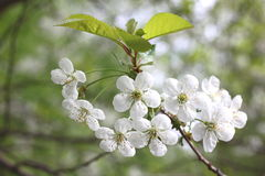 Wiosny okwitnięcia tło, piękni biali kwiaty Świeżość, woń i czułość, obraz stock