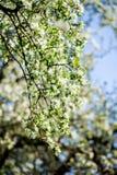 Wiosny okwitnięcia tło tła okwitnięcia ulistnienia pomarańczowy drzewo Wiosna druk Jabłoni gałąź jabłczana ogrodu zdjęcia wiosna  Zdjęcia Stock