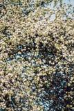Wiosny okwitnięcia tło tła okwitnięcia ulistnienia pomarańczowy drzewo Wiosna druk Jabłoni gałąź jabłczana ogrodu zdjęcia wiosna  Obrazy Royalty Free