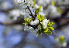Wiosny okwitnięcia tło tła okwitnięcia ulistnienia pomarańczowy drzewo Wiosna druk Jabłoni gałąź jabłczana ogrodu zdjęcia wiosna  Zdjęcie Stock