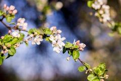 Wiosny okwitnięcia tło tła okwitnięcia ulistnienia pomarańczowy drzewo Wiosna druk Jabłoni gałąź jabłczana ogrodu zdjęcia wiosna  Zdjęcie Royalty Free