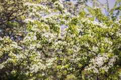 Wiosny okwitnięcia tło tła okwitnięcia ulistnienia pomarańczowy drzewo Wiosna druk Jabłoni gałąź jabłczana ogrodu zdjęcia wiosna  Zdjęcia Royalty Free