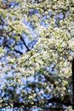 Wiosny okwitnięcia tło tła okwitnięcia ulistnienia pomarańczowy drzewo Wiosna druk Jabłoni gałąź jabłczana ogrodu zdjęcia wiosna  Obraz Stock