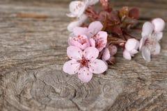 Wiosny okwitnięcie na nieociosanej drewnianej deski wiśni, okwitnięcie, Sakura Zdjęcia Stock
