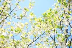 Wiosny okwitnięcie Ptasia wiśnia. Biali kwiaty Fotografia Stock