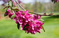 Wiosny okwitnięcie z różowym kwitnącym drzewem z menchiami kwitnie z rozpieczętowanymi płatkami i zamazanym tłem fotografia royalty free