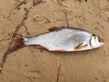 Wiosny płoci połów Rzeczna biała ryba Odgórny widok Zdjęcia Royalty Free