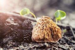 Wiosny pieczarkowy morel w wczesnym poranku w lesie obraz stock