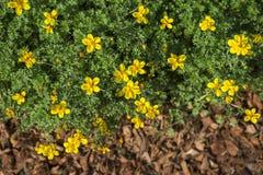 Wiosny pojęcia tło żółty kwiatu ogród Zdjęcia Royalty Free