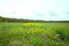 Wiosny pole wewnątrz może z żółtymi kwiatami fotografia royalty free