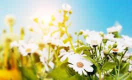 Wiosny pole z kwiatami, stokrotka, ziele Fotografia Stock