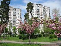 Wiosny popołudniowy przespacerowanie przez alei miasto park pod kwitnie Sakura obraz royalty free