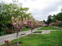 Wiosny popo?udniowy przespacerowanie przez alei miasto park pod kwitnie Sakura obrazy stock