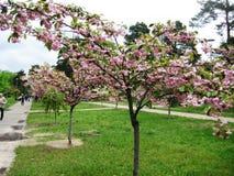 Wiosny popo?udniowy przespacerowanie przez alei miasto park pod kwitnie Sakura obraz stock