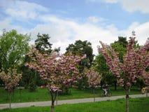 Wiosny popo?udniowy przespacerowanie przez alei miasto park pod kwitnie Sakura zdjęcie stock