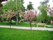 Wiosny popo?udniowy przespacerowanie przez alei miasto park pod kwitnie Sakura zdjęcie royalty free