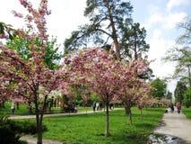 Wiosny popo?udniowy przespacerowanie przez alei miasto park pod kwitnie Sakura fotografia royalty free