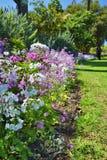 Wiosny Primula malacoides lizaka kwiaty Zdjęcie Royalty Free
