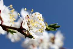 Wiosny rabatowy tło z białym okwitnięcia zakończeniem Zdjęcie Stock