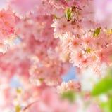 Wiosny rabatowy tło z menchii okwitnięciem Zdjęcia Royalty Free
