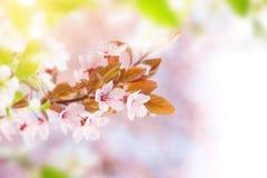 Wiosny rabatowy tło z menchii okwitnięciem Zdjęcie Stock