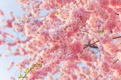 Wiosny rabatowy tło z menchii okwitnięciem Fotografia Stock