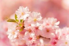 Wiosny rabatowy tło z menchii okwitnięciem Obrazy Stock