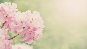 Wiosny rabatowy tło z różaneczników kwiatami, colorised wizerunek z słońce racą Fotografia Stock