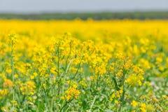 Wiosny rapeseed pola kwiatów żółty okwitnięcie Obrazy Royalty Free