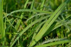 Wiosny rosy świeże krople na trawie Zdjęcie Royalty Free