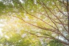 Wiosny słońca jaśnienie Przez baldachimu Wysocy drzewa Górne gałąź Obrazy Royalty Free