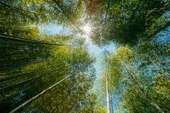 Wiosny słońca jaśnienie Przez baldachimu Wysokich drzew bambusa drewna Zdjęcie Royalty Free