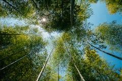 Wiosny słońca jaśnienie Przez baldachimu Wysokich drzew bambusa drewna Su Fotografia Royalty Free