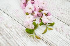Wiosny Sakura okwitnięcie Zdjęcia Royalty Free