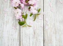 Wiosny Sakura okwitnięcie Zdjęcia Stock