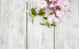 Wiosny Sakura okwitnięcie Obraz Royalty Free